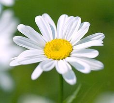 pictures of daisies | The daisy is a beautiful white flower with other tiny golden flowers ...