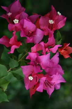 Trinitarias - also a must in your tropical garden. Easy to care for loves heat and have flowers all year around.