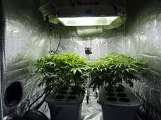 A list of frequently asked questions for growing weed indoors. How much weed can i grow? What is hydroponics? Go from babies to buds. Growing Weed Indoors, Growing Plants, Marijuana Plants, Cannabis Plant, Best Led Grow Lights, Grow Room, Grow Tent, Plant Growth, Vertical Gardens