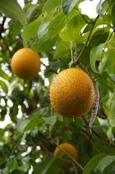 Gac Fruits (Momordica cochinchinensis) the super fruit from Southeast Asia widely believes to have abundance of medicinal and nutritional properties