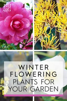 Here are 13 winter-flowering plants—shrubs, perennials, bulbs, even a small tree—you'll want to consider adding to your garden. winter garden 13 Winter Flowering Plants for Your Garden Winter Plants, Winter Flowers, Winter Garden, Garden Shrubs, Shade Garden, Garden Plants, Fairy Gardening, Gardening Hacks, Greenhouse Gardening