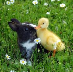 Easter is a hard time for young baby ducks, rabbits and chickens. People buy them for Easter, then are unprepared for the adult animals they become. Cherish and respect life!