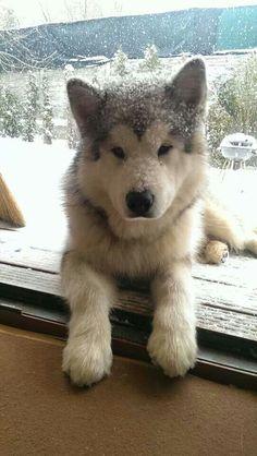 Huskies and Malamutes Malamute Puppies, Husky Puppy, Alaskan Malamute, Cute Puppies, Cute Dogs, Dogs And Puppies, Baby Animals, Funny Animals, Cute Animals