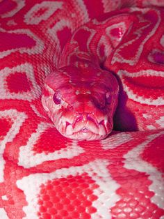 pink snake - even pink eyes! must have eaten a lot of strawberries or pink shrimp! Pretty Snakes, Cool Snakes, Colorful Snakes, Beautiful Snakes, Scary Snakes, Poisonous Snakes, Les Reptiles, Cute Reptiles, Reptiles And Amphibians