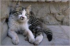 Chat du Tibet | Cats | Pinterest | Tibet and Cat
