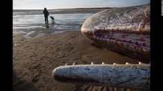"<strong>January 25:</strong> A person walks their dog past a dead sperm whale in Skegness, England. Three whales<a href=""http://www.cnn.com/2016/01/25/europe/whales-beached-england/"" target=""_blank""> washed up on the beach</a> over the weekend. Experts believe they may have washed ashore while hunting."