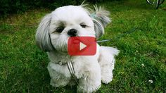 """11 very interesting facts about the Shih Tzu breed. Shih Tzu in Chinese means """"Lion Dog"""" Shih Tzu are genetically very close to wolves. Shih Tzu is a cross-breed between Pekingese and Lhsa Apso According to a legend a Shih ... Read More"""