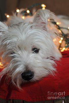 West Highland Terrier ~ Christmas Lights.