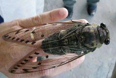Massive Cicada from Sabah, Borneo Island