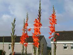 Google Images, Formal Dresses, Flowers, Plants, Red, Garden, Formal Gowns, Garten, Formal Dress