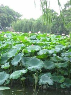 Lotus flowers in Xihu, Hangzhou.