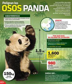 ¿#SabíasQué un Oso Panda llega a pesar 150Kg.? Conoce más sobre ellos. #Infographic