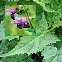 Salvia glabrescens 'Shi Ho'- slow growing, full shade, 2' tall, fall blooming