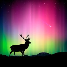 Here is the silohuette of a Bull Elk in front of gorgeous Aurora Lights.