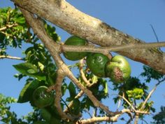"""""""As you can see, the fruit has black spots but it can still be eaten. It is best when chilled and sprinkled with salt. Some love to eat sineguelas when it is ripe because of its sweet juicy flesh."""" - Sineguelas (spanish plum) assessment by Ivy Balberona"""
