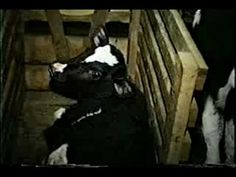 How good could veal taste if this is what these babies have to endure in their short lives? Fuck all of you who eat veal!! Boycott Veal Ad Also see: http://hfa.org/vealBoycott.html