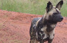 AFRICAN WILD DOG PAINTINGS | Wild dogs in the kgalagadi
