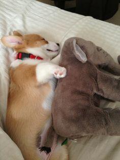 Sweet Corgi puppy with elephant