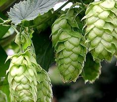 Hops Plant Humulus Lupulus - 50 Seeds - The Brewing beer plant! Hop Rhizomes, Hops Vine, Hops Plant, House Plant Delivery, House Plants For Sale, Beer Hops, Planting Bulbs, How To Make Beer, Beer Brewing