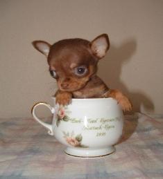 AKC Applehead Chihuahua puppies for sale Texas- AKC Teacup Boston ...