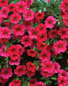 50 Calibrachoa Million Bells Trailing Magenta Live Plants Plugs DIY Planters Diy Planters, Hanging Planters, Hanging Baskets, Outdoor Planters, Million Bells Flowers, Calibrachoa Plant, Magenta Flowers, Pink Plant, Plant Sale