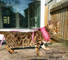 Bengal, Kangaroo, Club, Pets, Animals, Animais, Animales, Animaux, Animal