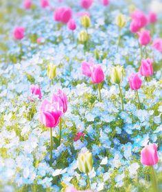 チューリップガーデン May Flowers, Blooming Flowers, Amazing Flowers, Beautiful Flowers, Blue Garden, Dream Garden, Tulip Bouquet, Spring Landscape, Pink Tulips