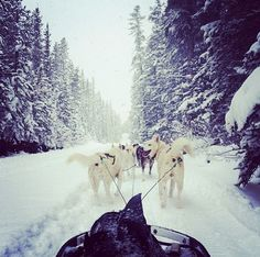 Want to experience dog sledding in Alberta, Canada? Snowy Owl Sled Dog Tours has you covered.