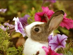 Sweet little brown and white baby bunny sniffing the purple petunias.