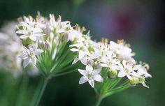 Flores de cebollino  Fotografia de John Glover, uno de los primeros y de los mas importantes fotografos de jardin del Reino Unido