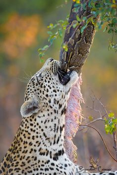 1558 Best L E O P A R D S Images Wild Animals Animal Pictures