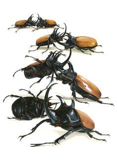 Five horned rhino beetles by VictoriaMorris.deviantart.com