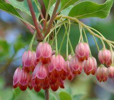 Enkianthus blossoms