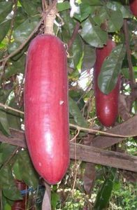 Casabanana - This large Casabanana is a climbing vine originated from South America. Other names are sikana, musk cucumber and casabanan