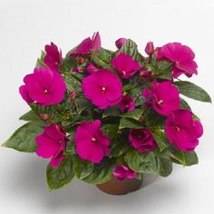 Impatiens Seeds 25 New Guinea Impatiens Seeds Florific Violet Hanging Baskets, Hanging Plants, All Flowers, Beautiful Flowers, Perennial Vegetables, Seeds For Sale, Ornamental Grasses, Trends, Types Of Plants