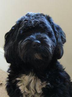 Tsang apso (Tibetan Terrier) Looks like my dog! <3