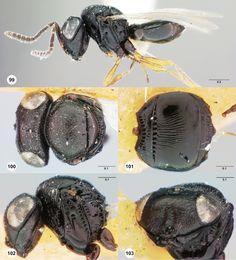 Trissolcus utahensis female 100 lectotype 101 lectotype 102 lectotype 103 lectotype