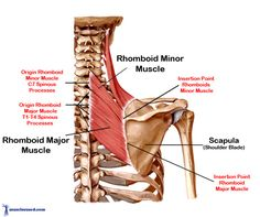 rhomboid muscle | Rhomboid Muscles are found in the upper torso of the back.
