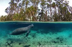 I highly recommend swimming with the manatees in Crystal River, FL.  Such peaceful creatures