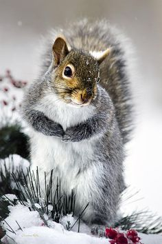 Sinister Squirrel by Christina Rollo © www.rollosphotos.com. Close up photograph of a cute Eastern Gray Squirrel (Sciurus carolinensis) in the snow with a sinister look, searches for food in winter.
