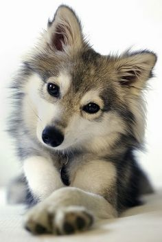 Alaskan Husky Alaskan klee kai - miniature husky that doesnt get more than about tall. - Alaskan Husky Alaskan klee kai - miniature husky that doesnt get more than about tall. Cute Baby Animals, Animals And Pets, Funny Animals, Wild Animals, Animals Images, Happy Animals, Funny Cats, Cute Puppies, Cute Dogs