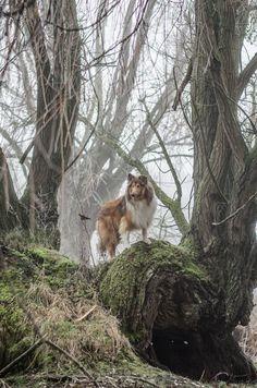 Aslan the King - Aslan my Collie