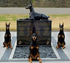 "Dobermans. A banned breed. Also, a breed that fought for you  and your ancestors in WWII.    Visit the real post on Thank You Very Much's Facebook page: https://www.facebook.com/photo.php?fbid=501278919934601=a.499706410091852.1073741825.468581956537631=1    ""They are partners, comrades, and serviceman as well. Thank you very much to the past, present, and all future military dogs. Thank you. ♥"""