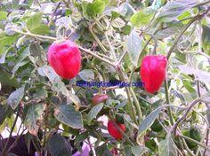 Red Rocoto Pepper