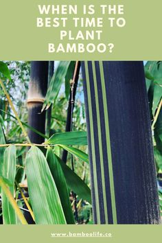 We are talking about tropical and subtropical bamboos and what time of year is best for planting. Bamboo Leaves, Plant Leaves, Planting, Tropical, Plants