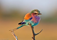 This is the Lilac-Breasted Roller Bird.