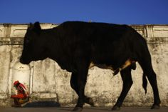 PASSING BY: A bull walked through the grounds of a temple in Katmandu, Nepal, Tuesday. (Navesh Chitrakar/Reuters)