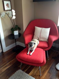 Eero Saarinen designed the Womb Chair at Florence Knoll's request. The groundbreaking design provides a comforting sense of security - hence the name. Modern Classic, Mid-century Modern, Contemporary, Modern Furniture, Furniture Design, Womb Chair, Shop Layout, Futuristic Design, Pug Dogs