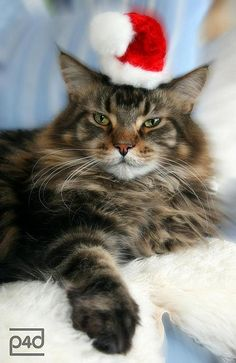 christmas cat For more Christmas cats, visit https://www.facebook.com/funholidaycats