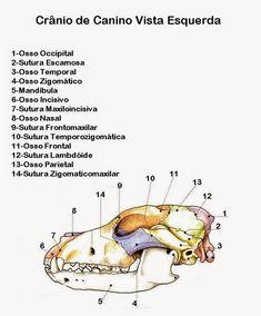 Odontologia Veterinária : ANATOMIA DENTÁRIA EM CÃES E GATOS